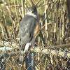 Cooper's Hawk <br /> Bridgeton, MO <br /> 01/13/15