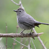 Gray Catbird <br /> Busch Wildlife CA<br /> Lake 6