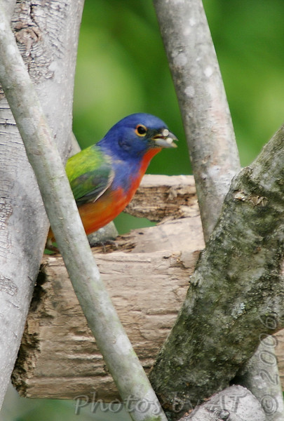 Painted Bunting <br /> Katy Trail access Weldon Springs CA