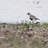 Black-bellied Plover <br /> Firma Road  <br /> 5/20/13