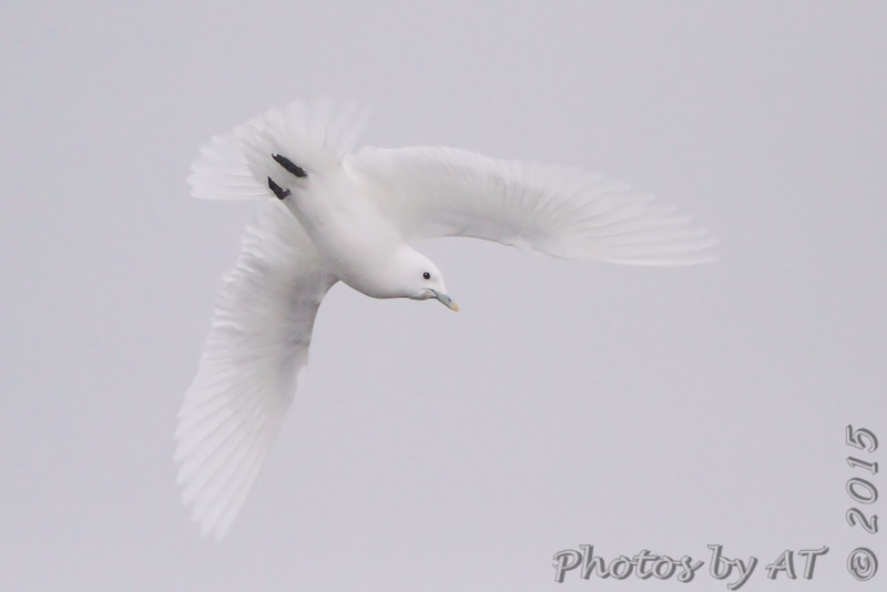 Ivory Gull <br /> Lock and Dam No.21 <br /> Quincy Illinois