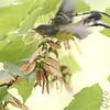 Magnolia Warbler<br /> 1st winter Female<br /> City of Bridgeton <br /> St. Louis County, Missouri <br /> 2006-09-11