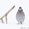 Northern Bobwhite in the snow<br /> Red School Road just south of <br /> Riverlands Migratory Bird Sanctuary <br /> West Alton, Missouri