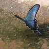 karasu-ageha <br /> Butterflies of Japan