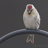 Hoary Redpoll <br /> Adair County, MO