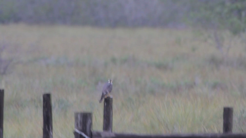 """Aplomado Falcon  <br> Second one at fence corner much closer. <br> Luguna Atascoso NWR <br> Texas <br><br><span class=""""noShowSmart""""> <a href=""""/MyKeywords/Bird-Videos/n-gF9bt/i-d77pdXH/A""""> <span style=""""color:yellow"""">Click here to open video in lightbox/full screen</span></a> <br><br></span>  <span class=""""noShowGallery""""> <a href=""""/Birds/Birding-2013-January/2013-01-09-Luguna-Atascoso-NWR/i-d77pdXH/A""""> <span style=""""color:yellow"""">Click here to open video in lightbox/full screen</span></a> </span>"""