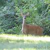 Whitetail Deer <br /> Bridgeton