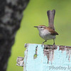 "Wrens: <span style=""color:#fff; background:#333;"">Bewick's Wren </span> <br><span class=""showLBtitle"">                                                                                         </span> Jefferson County, Missouri <br> <a href=""/Birds/2012-Birding/Birding-2012-April/2012-04-16-Jefferson-County/i-PkJk2b7"">2012-04-16</a> <br> <br> My 1st Missouri photo, species  #253 <br> 2009-06-06 14:46:34 <br> <div class=""noshow"">See #253 in photo gallery <a href=""/Birds/2009-Birding/Birding-2009-June/2009-06-06-Jeff-City-Eagle/i-xSTcbhk"">here</a></div>"