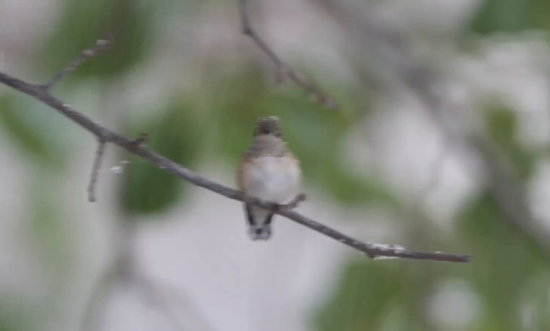 "Calliope Hummingbird <br> Ozark, Mo <br> 11/16/14 1:10 pm <br><br>  <span class=""noShowSmart""> <a href=""/MyKeywords/Bird-Videos/n-gF9bt/i-hxzx45t/A""> <span style=""color:yellow"">Click here to open video in lightbox/full screen</span></a> </span>  <span class=""noShowGallery""> <a href=""/Birds/2014-Birding/Birding-2014-November/2014-11-15-16-SW-Missouri/i-hxzx45t/A""> <span style=""color:yellow"">Click here to open video in lightbox/full screen</span></a> </span>"