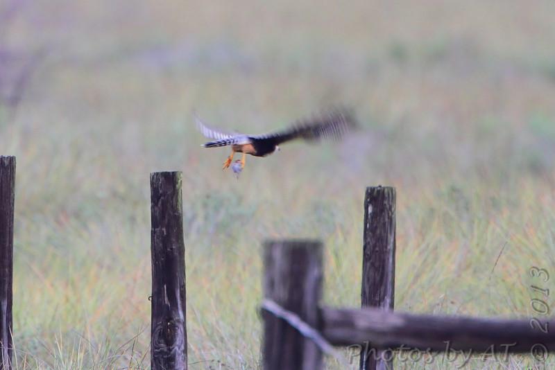 Aplomado Falcon <br /> Second one at fence corner much closer.<br /> Luguna Atascoso