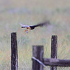 Aplomado Falcon <br /> Second one at fence corner much closer.<br /> Luguna Atascoso
