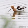 American Avocet<br /> Squaw Creek Natural Wildlife Refuge