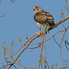 Red-tailed Hawk <br /> Creve Coeur Marsh