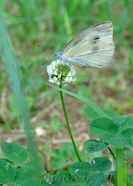 Japanese name:  Monshiro-cho<br /> English name: Small white (European cabbage butterfly)<br /> Yokosuka, Japan