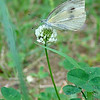 Japanese name:  Monshiro-cho<br /> English name: Small white (European cabbage butterfly)<br /> Yokosuka, Japan
