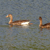 Greater White-fronted Geese <br /> Mallard lake (Creve Couer)