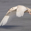 Glaucous Gull <br /> Ellis Bay <br /> Riverlands Migratory Bird Sanctuary