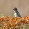 Song Sparrow<br /> Creve Coeur Marsh