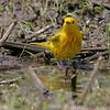 Yellow Warbler<br /> Creve Coeur Marsh