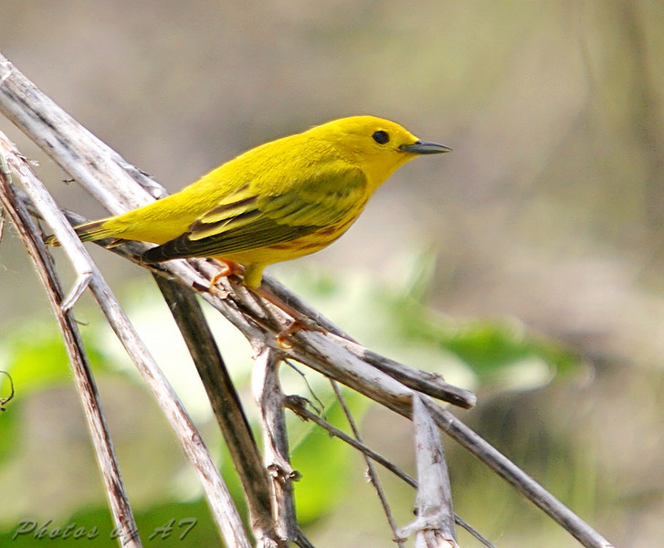 Yellow Warbler <br /> Creve Couer Lake Marsh