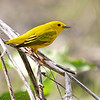 Yellow Warbler <br /> Creve Couer Lake Marsh