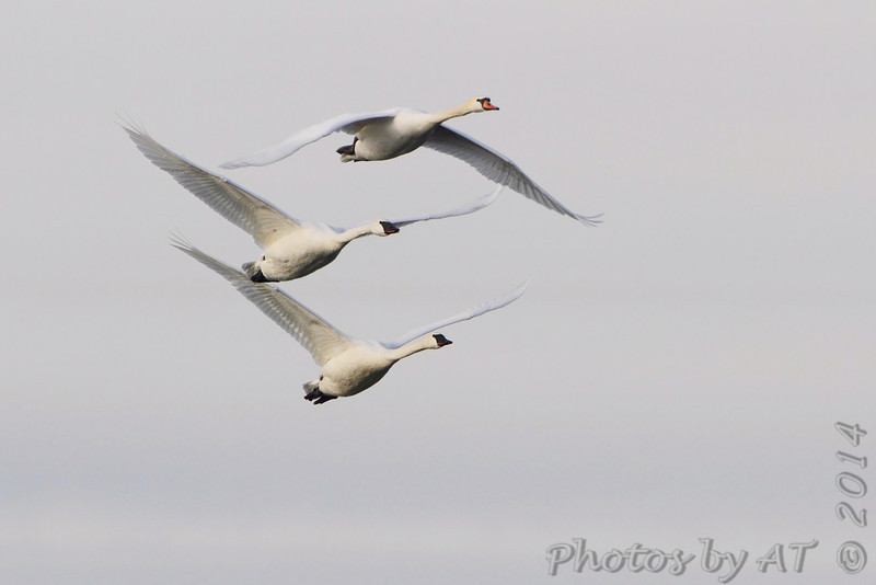 Trumpeter Swans and Mute Swan <br /> Ellis Bay <br /> Riverlands Migratory Bird Sanctuary