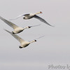 Trumpeter Swans and Mute Swan <br /> Ellis Bay <br /> Riverlands Migratory Bird Sanctuary