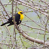 Yellow-headed Blackbird <br /> Squaw Creek Natural Wildlife Refuge