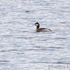Red-necked Grebe <br /> Creve Couer Lake <br /> 03/07/14