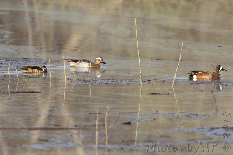 """Garganey  <br> and Blue-winged Teal  <br> West of Sumner besides hwy 139  <br> Chariton County <br>  <br> <span style=""""color:red"""">*** Missouri's 2nd state record ***</span> <br> The Garganey is No. 326 on my Lifetime  <br> List of Bird Species Photographed in Missouri"""