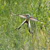 "Flycatchers: <span style=""color:#fff; background:#333;"">Scissor-tailed Flycatcher</span>  <br><span class=""showLBtitle"">                                                                                         </span> Hwy N and I64 <br> St. Charles County, Missouri <br> <a href=""/Birds/2008-Birding/Birding-2008-July/2008-07-23-Scissor-tailed/i-mtzBmDN"">2008-07-23</a> <br> <br> My 1st Missouri photo, species #190 <br>  2008-06-06 11:24:08 <br> <div class=""noshow"">See #190 in photo gallery <a href=""/Birds/2008-Birding/Birding-2008-June/2008-06-06-Bridgeton-Bottoms/i-pKD6sVr"">Here</a></div>"
