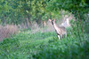 Whitetail Deer<br /> Creve Coeur Marsh