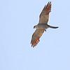 Mississippi Kite <br /> Weldon Springs CA