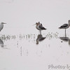 American Avocet <br /> Heron Pond <br /> Riverlands Migratory Bird Sanctuary
