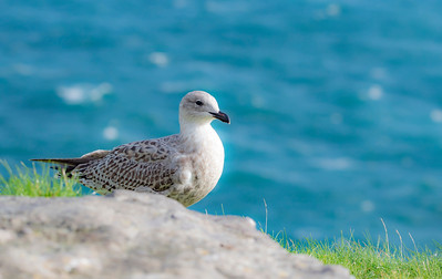 A pretty little coastal bird