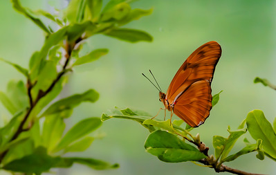 Orange Sulpher Butterfly perched on a limb