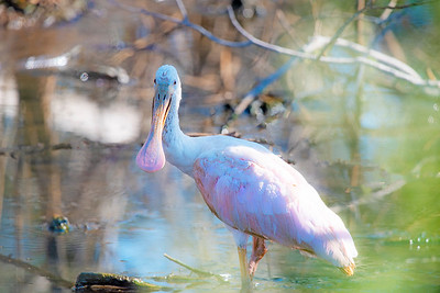 Roseate Spoonbill Posing In The Marsh