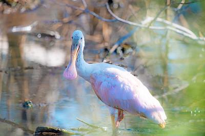 Roseate Spoonbill Posing In The Marsh