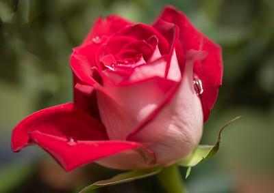 Dew Kissed Rose