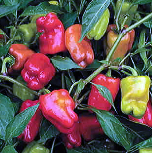 Cajun Bella Hybrid sweet pepper (Target) hedeflenen ürün
