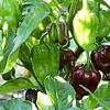 Habanero Brown pepper (Target) hedef ürün