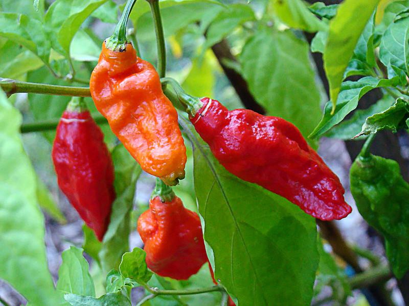 Bhut Jolokia (Ghost) Pepper (Target)  hedeflenen ürün