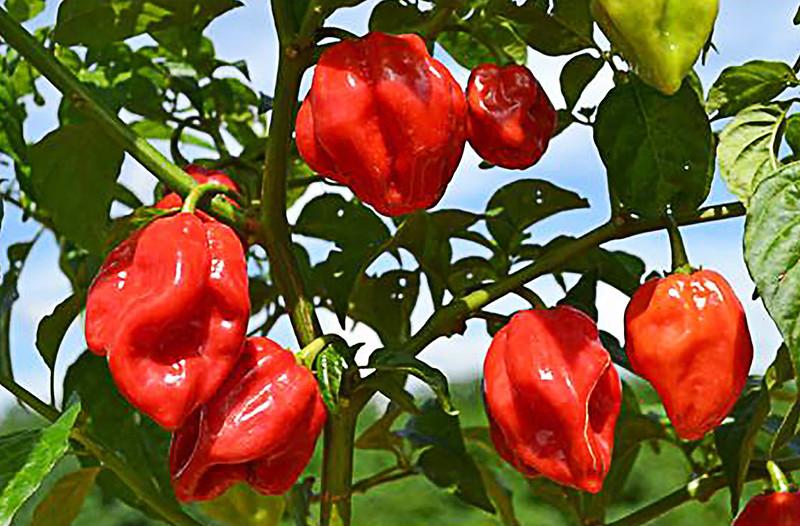Habanero Red Pepper (Target)  hedef ürün