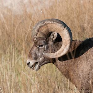 Bighorn Sheep in South Dakota