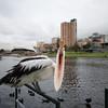 Pelican Attack (Pelecanus conspicillatus)