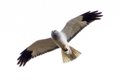 Male hen harrier with prey item