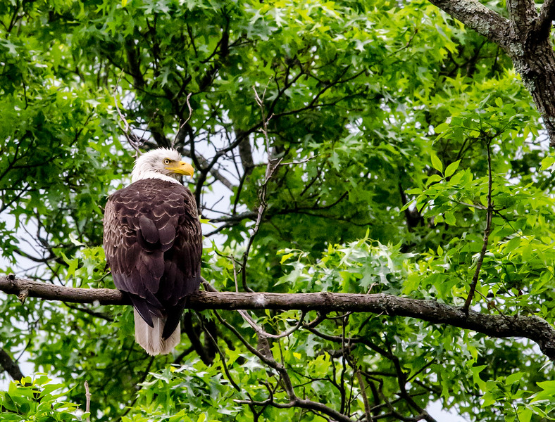 Eagle on Wallkill