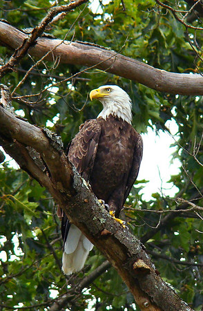 Bald Eagle on the Delaware
