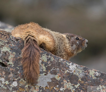 Red Bellied Marmot, Sheepeater cliffs