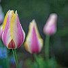 tulip and friends